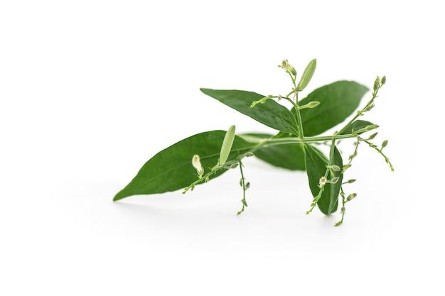 Kariyat o andrographis paniculata, foglie di ramo verde isolato su bianco.