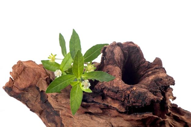 Kariyat o andrographis paniculata, foglie verdi e fiori isolati su sfondo bianco.