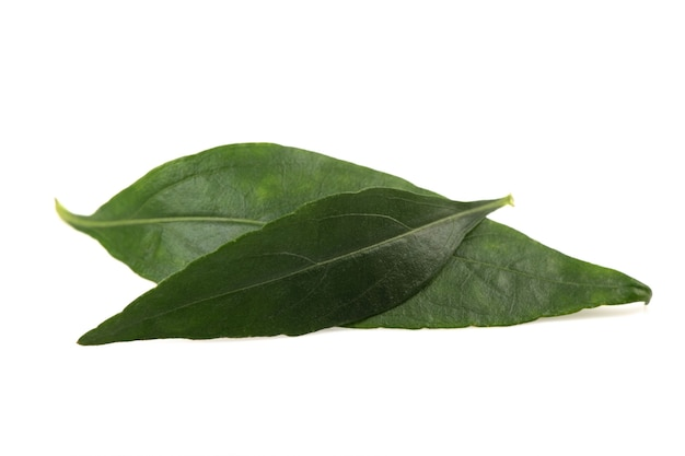 Kariyat o andrographis paniculata, foglie verdi isolate su bianco