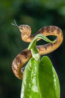 La lumaca chiglia mangia serpente avvolto intorno a un ramo di un albero