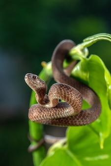 Serpente di lumaca con la chiglia sui rami delle piante