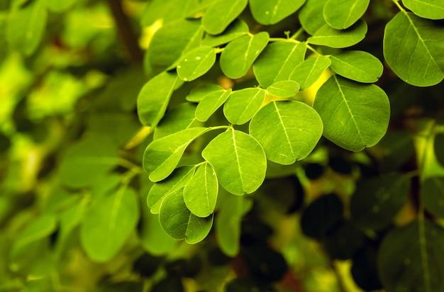 Kelor o albero della bacchetta, moringa oleifera, foglie verdi, con nomi comuni albero di rafano e albero dell'olio di ben o albero benzolivo