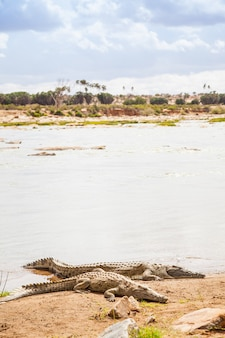 Kenya, parco nazionale orientale di tsavo. coccodrilli che si uniscono all'ultimo sole prima del tramonto
