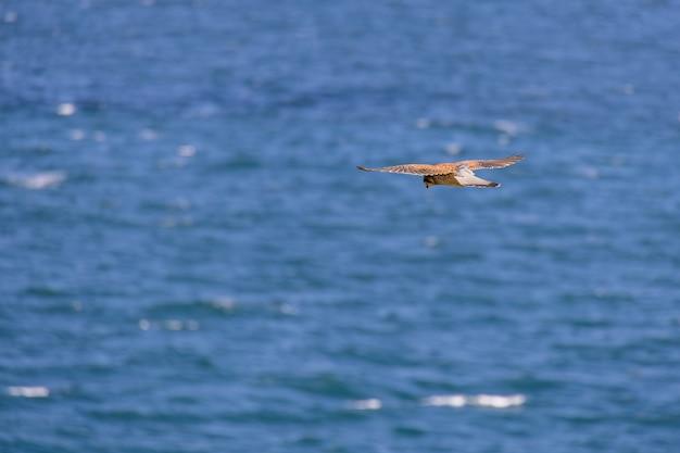 Gheppio (falco tinnunculus) in bilico su scogliere a porthgwidden in cerca di prede