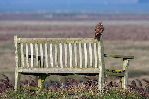 Gheppio seduto su una panchina godendosi la luce del sole serale