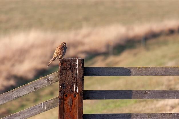 Gheppio seduto su un palo da recinzione godendosi la luce del sole serale