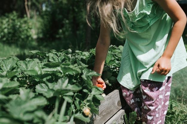 Ragazza del bambino che raccoglie fragole mature nella stagione estiva in fattoria biologica di fragole. raccogliere le bacche