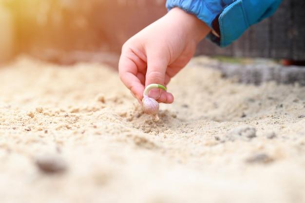 Una mano di bambini che pianta un seme di aglio germogliato in un letto da giardino con sabbia in primavera. bagliore