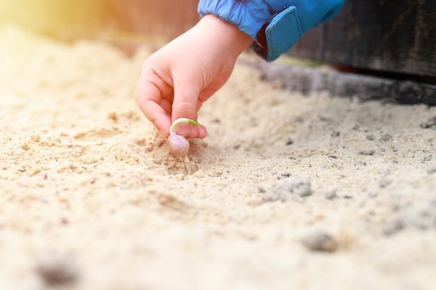Una mano di bambini che pianta un seme di aglio germogliato in un letto da giardino con sabbia in primavera.