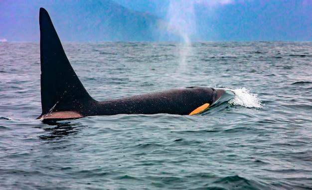 La balena assassina in kamchatka con la pinna sopra l'acqua