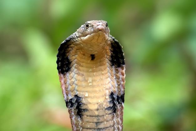 Un cobra reale in posizione di attacco
