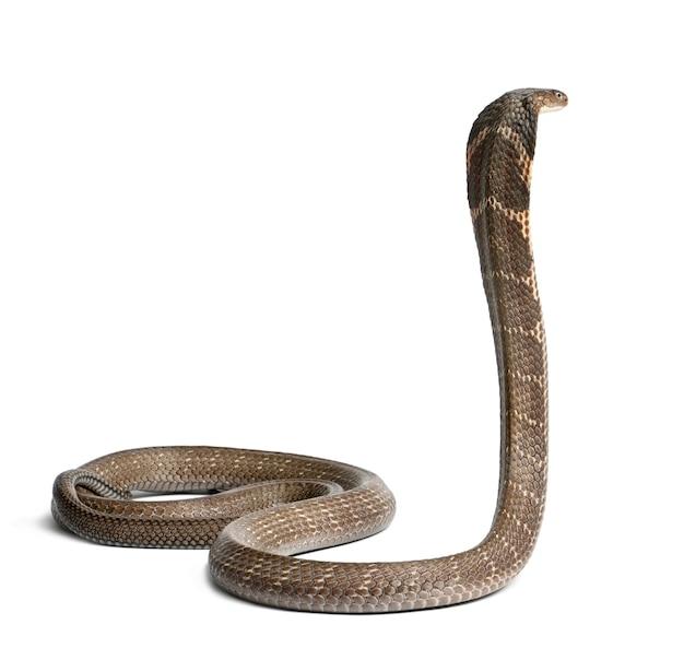 King cobra ophiophagus hannah velenoso