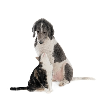 Re barboncino cane e gatto domestico in colori simili che si guardano l'un l'altro. isolato su bianco.
