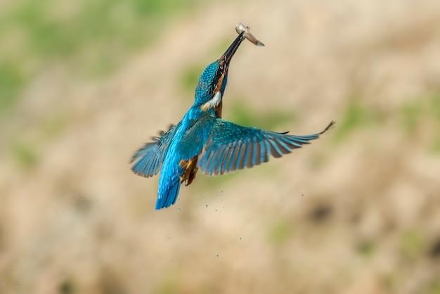 Volo dell'uccello del martin pescatore in natura
