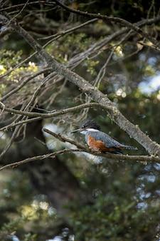 L'uccello del martin pescatore si è appollaiato su un ramo alla foresta andina della patagonia.