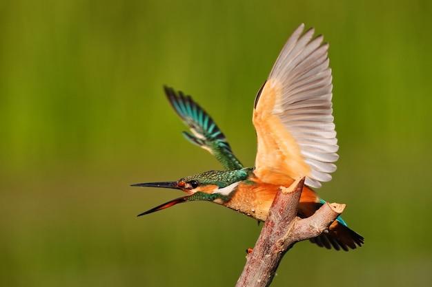 Kingfisher seduto su un bastone con le ali spiegate in natura