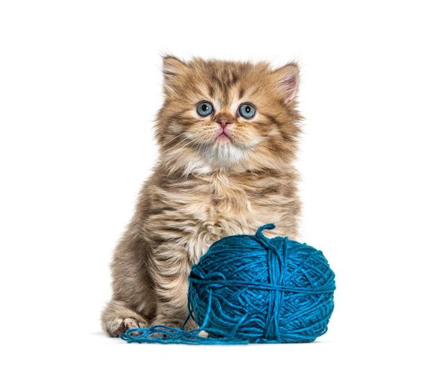 Gattino gatto britannico a pelo lungo e un gomitolo di lana blu