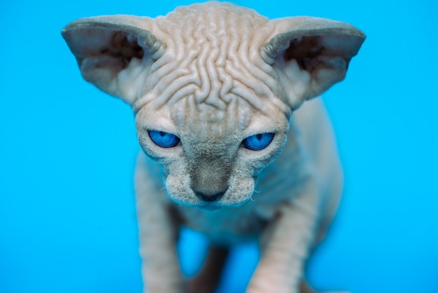Gattino di razza di gatto sphynx canadese in piedi su sfondo blu e guardando la telecamera