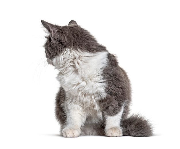 Gattino incrocio gatto seduto e guardando indietro