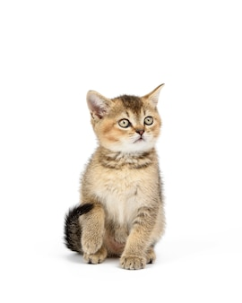 Il gattino dorato ha spuntato il cincillà britannico dritto si siede davanti su uno sfondo bianco isolato. gatto che esamina la macchina fotografica