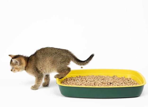 Cincillà britannico ticchettato dorato gattino dritto seduto in una toilette di plastica con segatura. animale su uno sfondo bianco