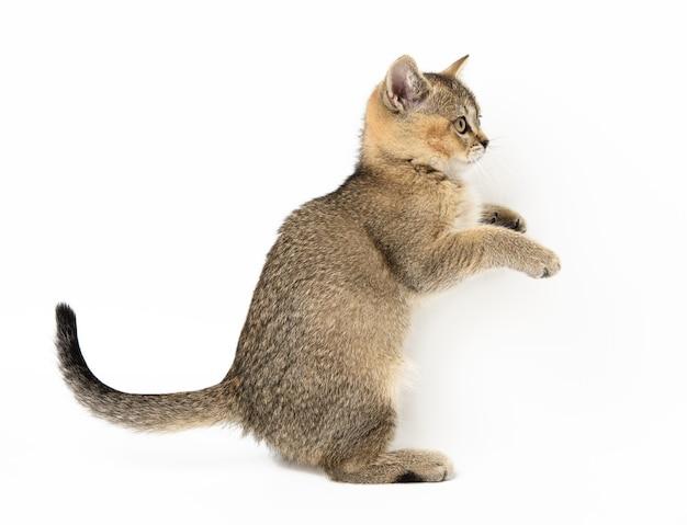 Gattino dorato cincillà scozzese spuntato dritto, il gatto è in piedi di lato