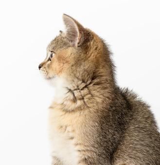 Gattino dorato spuntato cincillà scozzese dritto si siede su uno sfondo bianco, da vicino