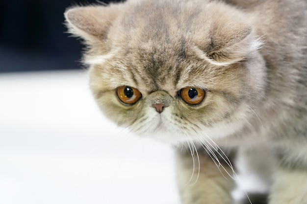 Gattino persiano a pelo corto e tigre marrone colore su di esso pelliccia in piedi sul tavolo bianco.