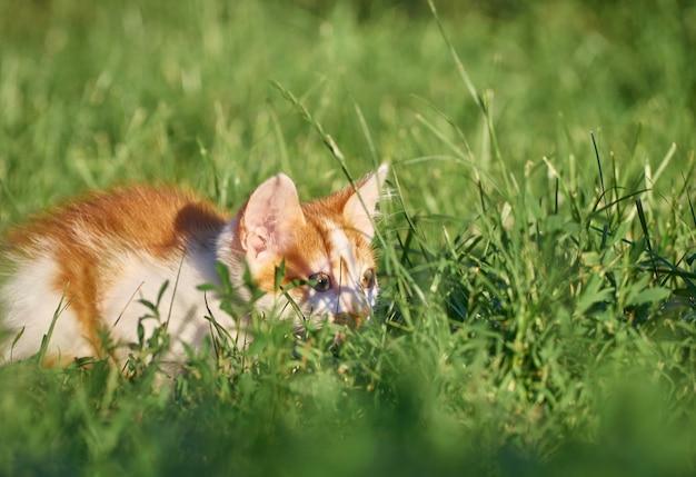 Gattino che gioca nell'erba.