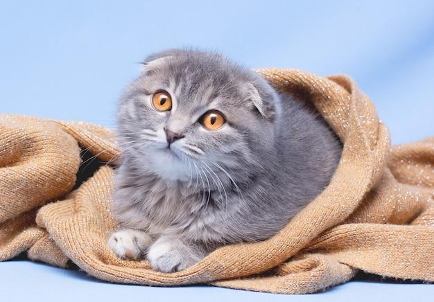Gattino scottish fold razza