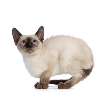 Ritratto del gatto di kitten siamese isolato