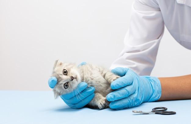 Esame veterinario del gattino. gatto grigio a strisce nelle mani del medico su sfondo blu di colore. check-up dell'animale domestico del gattino, vaccinazione in clinica veterinaria per animali. animale domestico di assistenza sanitaria. copia spazio