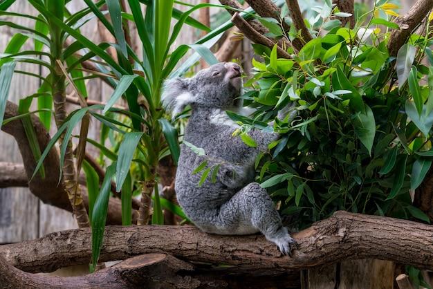 Orso di koala nella foresta