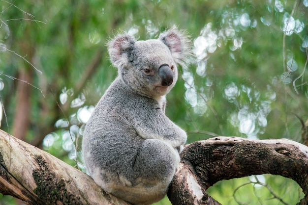 Koala che si rilassa su un albero a perth, in australia.