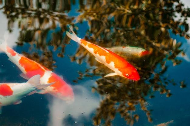 Pesce koi fondo nero
