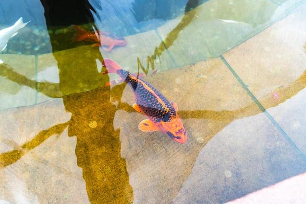 Pesce koi. carpa pesce giapponese. bellissimo pesce nei colori arancioni e bianchi.