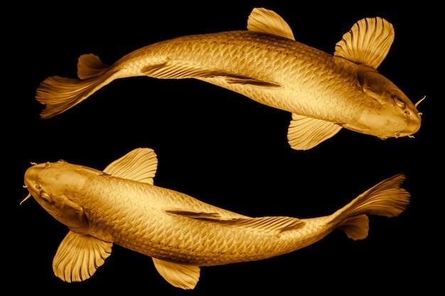Pesci di koi dorato intorno al ciclo del cerchio per il concetto di simbolo dal vivo fortunato o infinito isolato su priorità bassa nera.