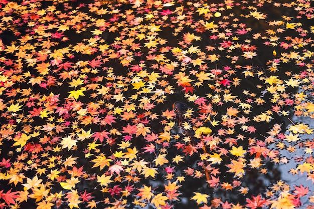 I pesci di koi nuotano sullo stagno con la foglia di acero rossa di autunno di galleggiamento nel tempio di nanzen-ji, kyoto, giappone.