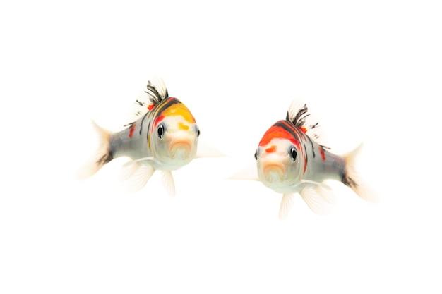 Pesci koi che nuotano su sfondo bianco