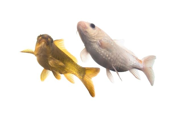 Pesce koi che nuota su sfondo bianco