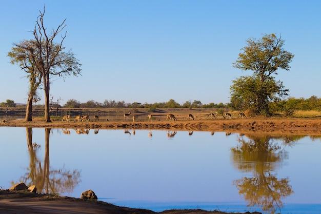 Parco nazionale kruger, riflessioni sul lago, alberi e fauna selvatica. bellissimo paesaggio dal sud africa. safari e natura