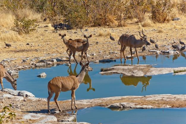 Antilopi di kudu che bevono dalla pozza d'acqua. riserva naturale e faunistica africana, etosha, namibia