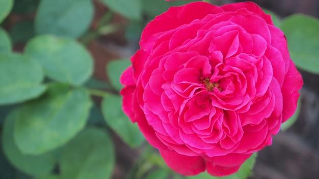 Ld braithwaite rosa in colore cremisi.