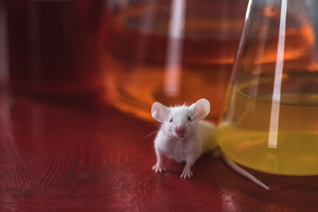 Un topo da laboratorio sullo sfondo di palloni con liquidi