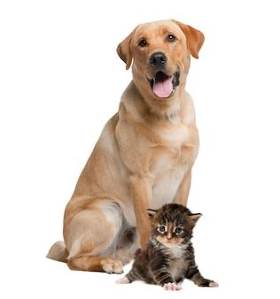 Labrador ansimante e gattino, isolato su bianco