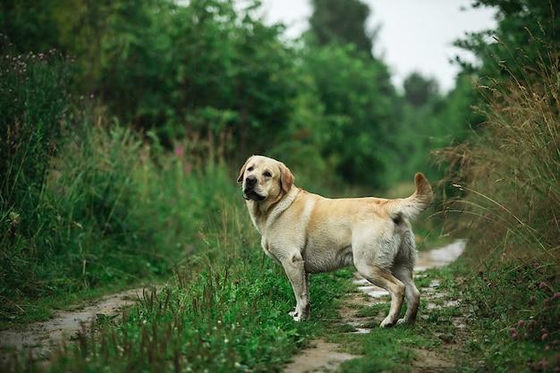 Labrador retriever sul sentiero erboso in campagna