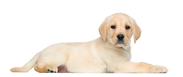 Labrador retriever puppy, sdraiato e di fronte, isolato