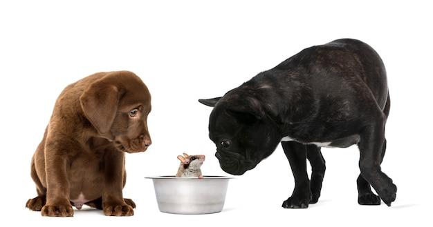 Cucciolo di labrador retriever seduto e bulldog francese