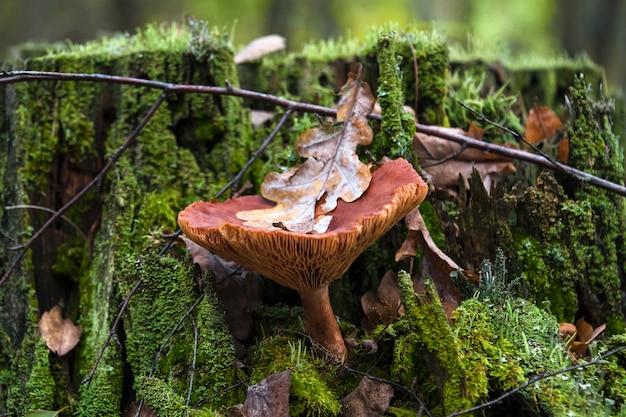 Lactarius rufus, funghi commestibili nella foresta di autunno