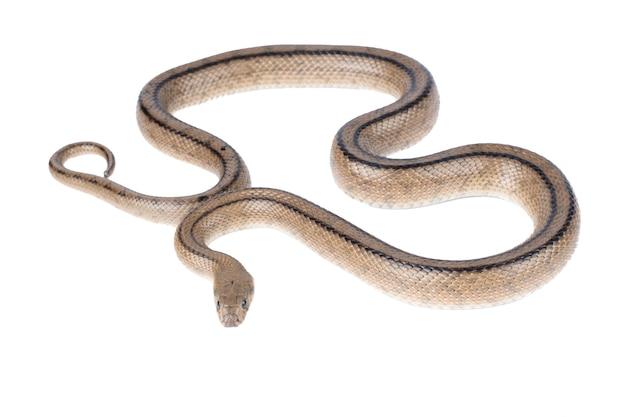 Serpente a scala zamenis longissimus su sfondo bianco